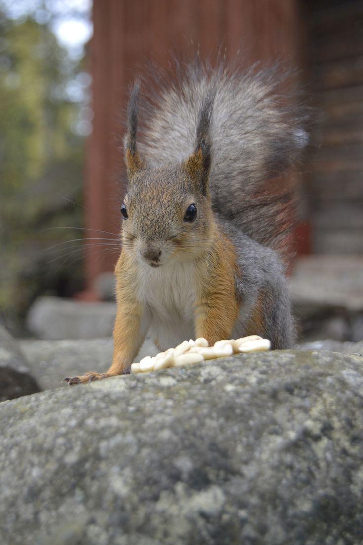 """Ruokapalkalla poseeraava malli ©Päivi Hänninen: """"Kuva on otettu äitienpäivänä 2015, ja oravalla on vielä turkissa keväinen väritys. Orava tuli rohkeasti hakemaan pähkinöitä, mutta aina kun laitoin kasvoni järjestelmäkameran taakse, se pelästyi ja juoksi karkuun. Siinä minä sitten ensin esittelin kameraa kädessäni oravalle ja painoin laukaisinta, että ääni tuli tutuksi. -- Totuttelun jälkeen oravakin totesi, että tuo nainen ei taidakaan olla vaarallinen ja pääsin kuvaamaan läheltä ja…"""