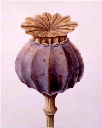 Botanical Art, from the Shirley Sherwood Gallery, Kew Gardens. Poppy pod.