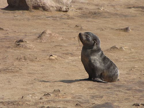 Sea lion cub, Cape Cross, Namibia