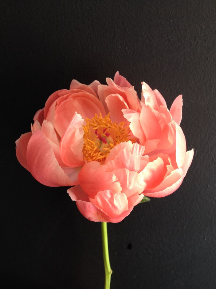 Coral peony (image from Jay Archer Floral Design)