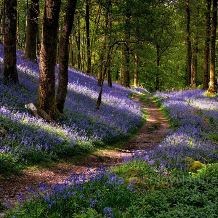 Bluebells at Lake District #Cumbria #England
