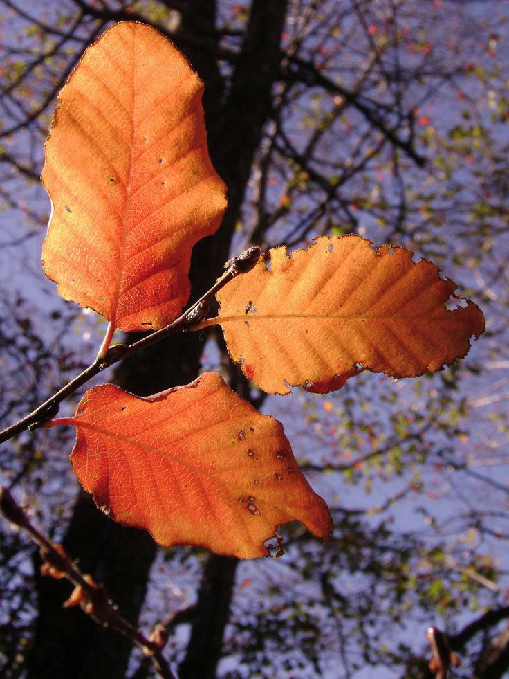 Hojas de roble de Santiago en otoño