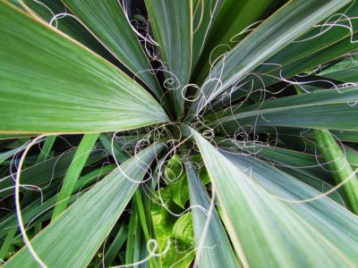 Adam's Needle Information – How To Grow An Adam's Needle Yucca Plant Adam's needle yucca (Yucca filamentosa) is a plant in the agave family that is native to the Southeastern United States. The plant is used primarily as an ornamental in the garden. Click the following article for more Adam's needle information.
