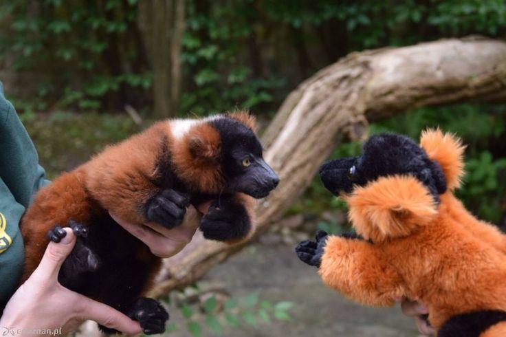 ZOO: porzucony lemur kończy 4 miesiące. Odchowała go opiekunka