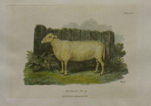 Herdwick Sheep by Samuel Howitt