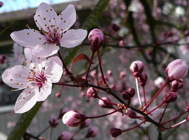 cherry tree: Purple Trees, Flowers Blossoms, Blossoms Beautiful, Google Search, Cherries Blossoms Trees, Bible Beautiful, Cherries Trees Flowers, Beautiful Colour, Trees Blossoms