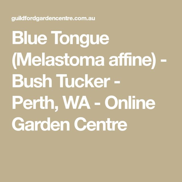 Blue Tongue (Melastoma affine) - Bush Tucker - Perth, WA - Online Garden Centre