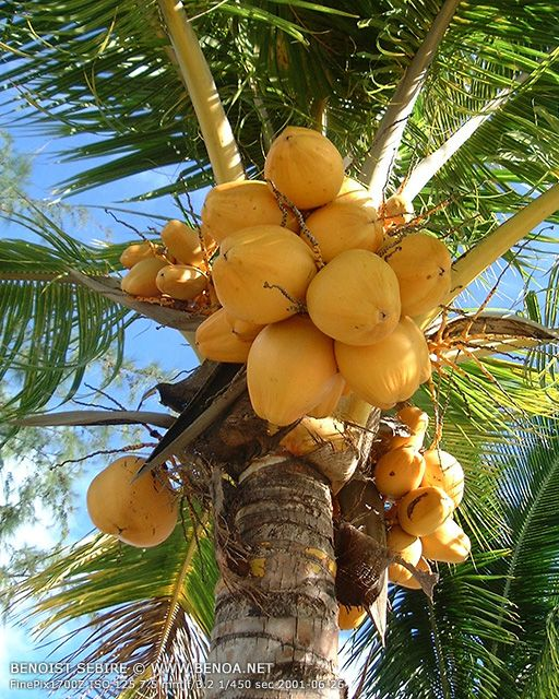 In my younger years, I love climbing trees and picked fruits... this type of coconut tree was one of them and we had a few in the backyard... I just love coconut.