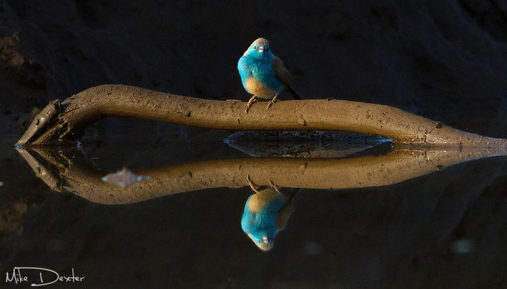 """""""Blue Waxbill Reflection"""" by Mike Dexter   A tiny blue waxbill perches on a root"""