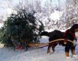 dog pulling sled/wagon with christmas tree