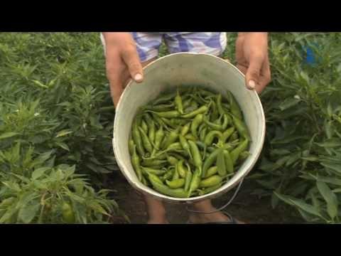 Så odlas Fontanas peperoni