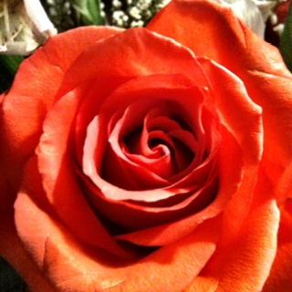 My beautiful roseBeautiful Rose