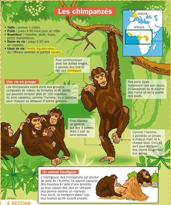 Fiche exposés : Les chimpanzés