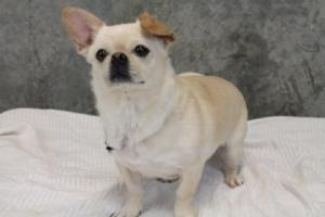 WANT!!!! --- Tater Tot is an adoptable French Bulldog Dog in Edgewater, NJ. TaterTot is a 3-5 year old French Bulldog/Pug/Chihuahua mix.
