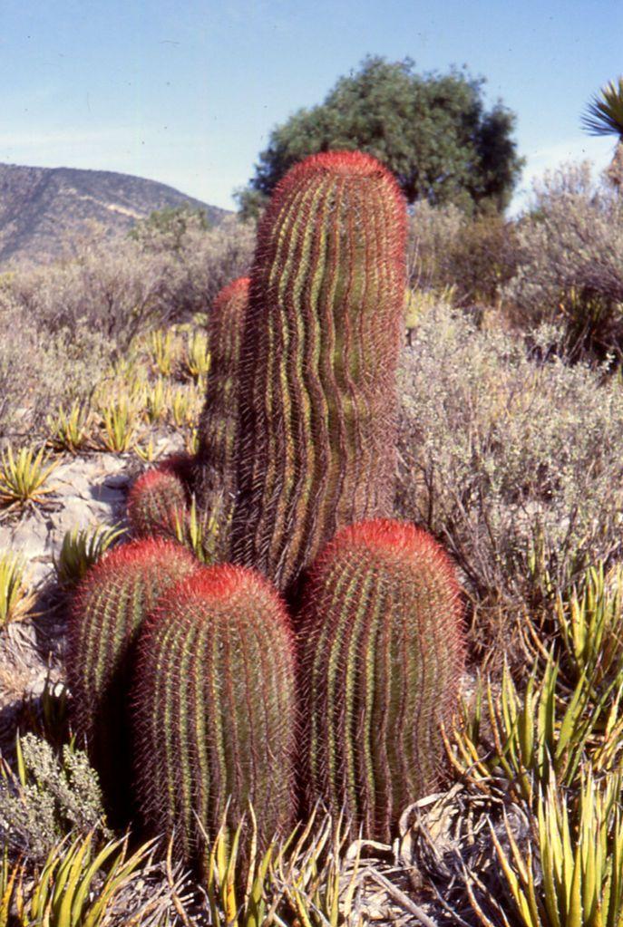 Ferocactus pilosus - Wikipedia, the free encyclopedia