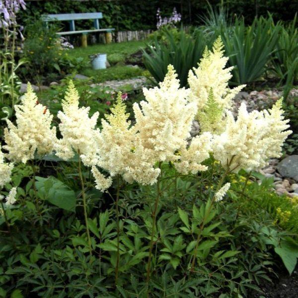 Visions In White Astilbe Astilbe Plants Shade Garden Plants