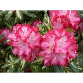 Эфирное масло рододендрона, это просто сокровищница витаминов. Оно увлажнит кожу, поможет восстановить водный баланс. Укрепит иммунитет вашей коже. https://xn----utbcjbgv0e.com.ua/jefirnoe-maslo-rododendrona-5-ml.html  #мылоопт #мыло_опт #натуральные_компоненты #косметика #уход #красота #девушки #натуральная_косметика #масла_для_волос #масла_для_тела #органические_масла   #масло_ним #жидкие_масла #натуральные_компоненты #косметика #уход #красота #девушки