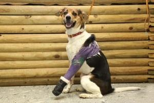 Fanny is an adoptable Beagle Dog in Jeffersonville, IN.  Fanny is a two- 3 yr old beagle mix. She was found hit by car in memphis, indiana. She has a brken leg which has been set and pinned and put in...