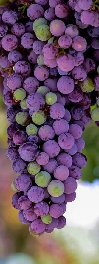 Reminds me of my childhood, eating grapes fresh off the vine!