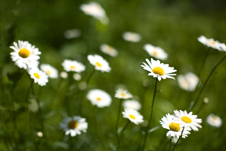 3 - an amazing everyday image of ordinary daisys but still beautiful and simplistic #amazingfinds
