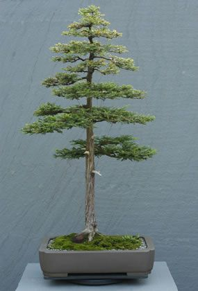 Sequoia sempervierens | Coast Redwood Donor: June M. Chambers | In Training Since 1954