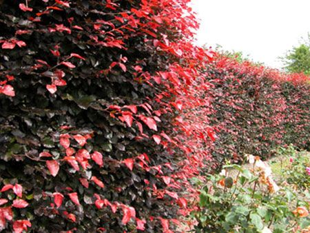 Copper Beech Hedge Kincraig1 Pinterest Hedges And Hedging Plants