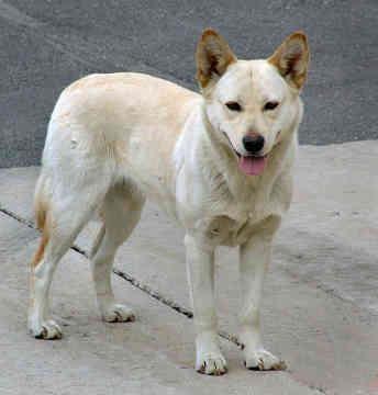Korean JindoJindo Pets, Jindo Animal, Thankskorean Jindo, Cheap Bags, Jindo Dogs, Awesome Pin, Art Korean, Kootenay Pin, Dogs Boards