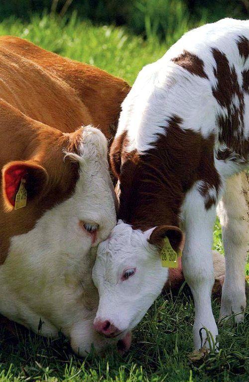 Kiss, kiss. Beautiful cow and calf