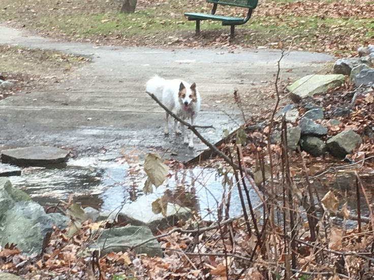 My border collie/husky/blue heeled mix at the dog park