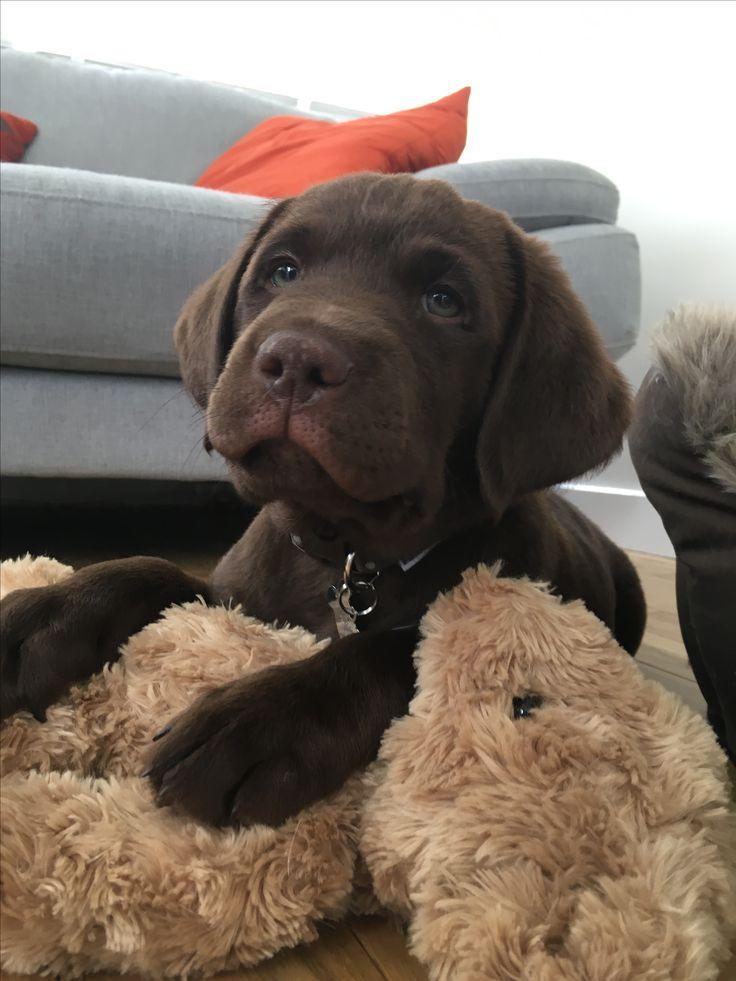 Teddy with teddy! Labrador retriever Dogs, puppy , funny, happy. onlyleash.com