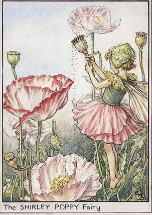 llustration for the Shirley Poppy Fairy from Flower Fairies of the Garden. A girl fairy stands on tiptoe amongst shirley poppy flowers, shaking the seeds from a poppy head. Author / Illustrator Cicely Mary Barker Date 1944, 1990