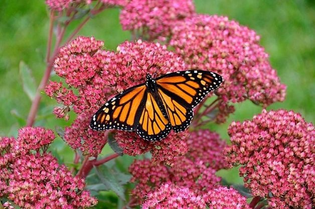 More than a dozen sites on five mountains in Michoacan and Mexico state have been identified as winter homes for monarchs. Photo: Courtesy Of SK Films / SF