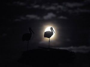 Poland: Storks sleep in a nest during a fullmoon in the countryside near Warsaw