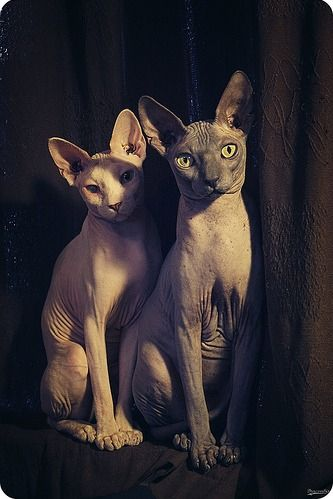 sphynx... Maybe I'm weird, but I really love these cats. Want one someday! Too bad they're like $2000