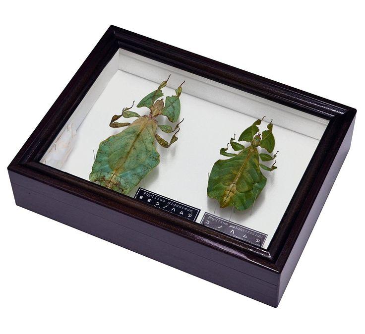 Amazon | 葉っぱのような不思議な昆虫 名和昆虫博物館 企画・製作 オオコノハムシ と コノハムシのセット標本 | 生態・採集 通販