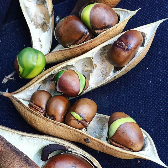 The passenger seat of my car this afternoon. Precious cargo... black bean seedpods.  Castanospermum australe  Black beans ... Mature pod and seeds ...