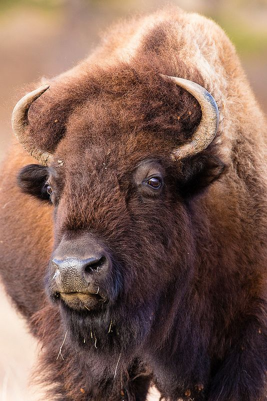 Bison, Custer State Park, South Dakota
