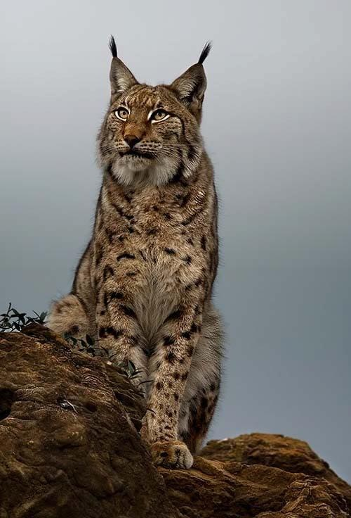 Lynx varies from med brown to gold to beige/white, & is ... - photo#37