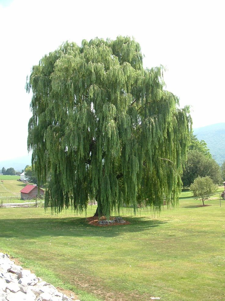 155 Best Willow Trees So Beautiful Images On Pinterest