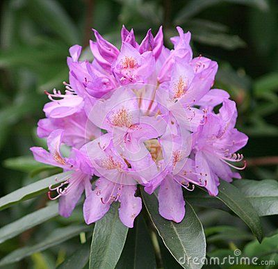 A beautiful Rhododendron in a garden