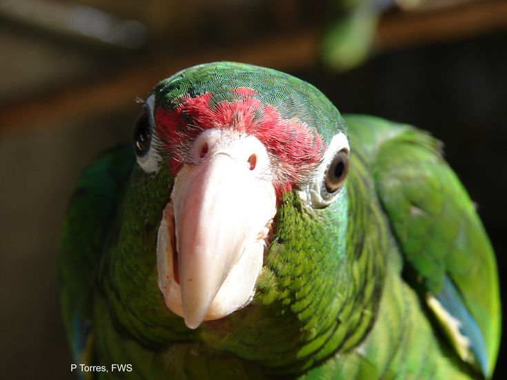 """with a little over 35 parrots left in the wild, and 100 in captivity, the Puerto Rican Parrot is the critically endangered """"state"""" bird of Puerto Rico."""