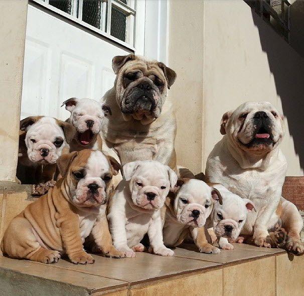 Perros bulldogs inglés