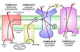 cytochrome c oxidase - Google Search