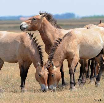 Przewalski's Horse - central Asia