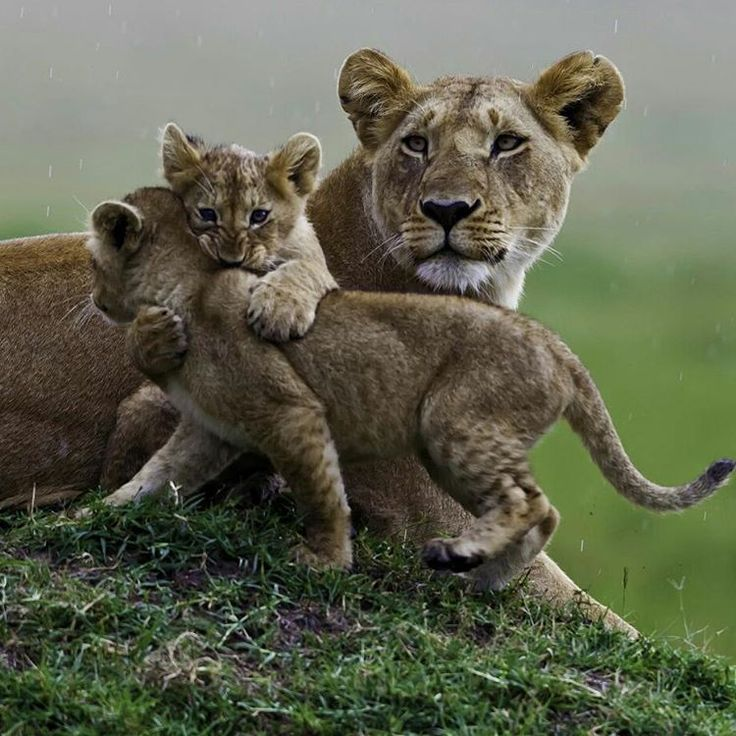 . Play time! Photography by @ (Manoj Shah). These three lion cubs have a field day playing. Light rainfall did not deter them from having fun. The mother is always checking on the surroundings when cubs are present. The young ones are totally...