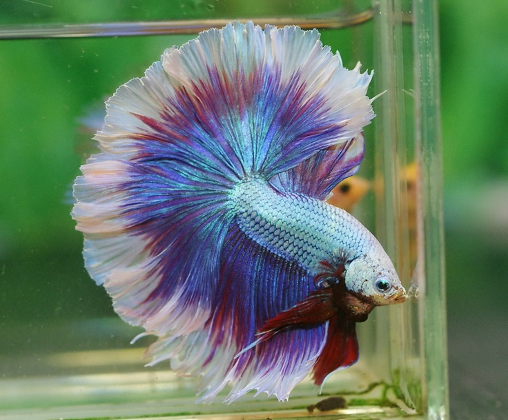 Salamander fancy bettas pinterest betta fish and for One fish two fish red fish blue fish