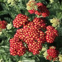 Strawberry Seduction Yarrow for sale buy Achillea 'Strawberry Seduction' PP 18,401