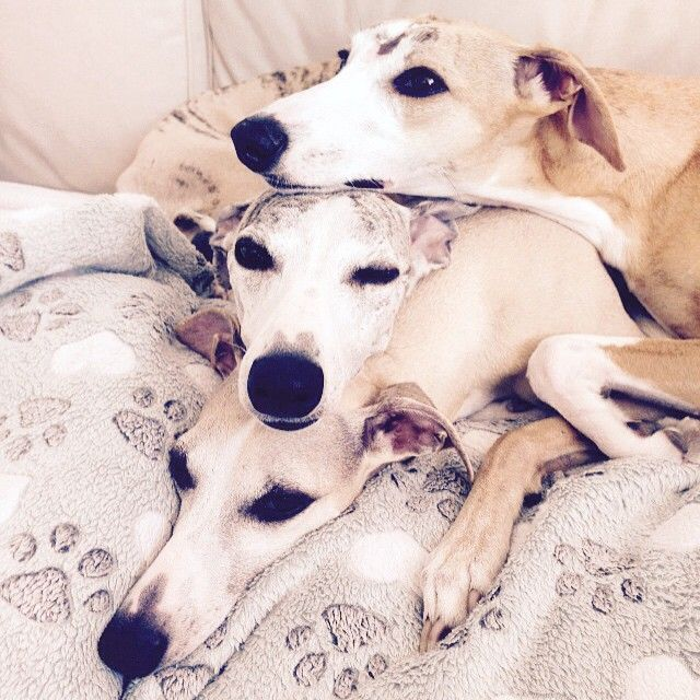 These Whippets are adorable.