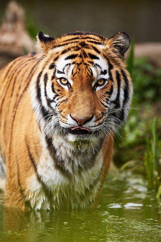Siberian Tiger   by generalstussner