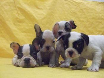 Donde Comprar un Bulldog Francés http://www.mascotadomestica.com/criaderos-de-perros/donde-comprar-un-bulldog-frances.html